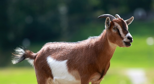 Goats Demand Increased on Eid, People Started Selling on OLX
